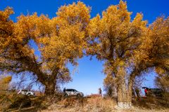 Tourist and Lively Golden Populus in autumn by River Tarim. In Autumn is the golden season of Populus diversifolia eyeful looked full of pictures depicting royalty free stock photos