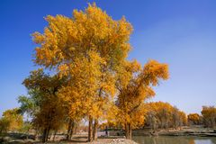 Tourist and Lively Golden Populus in autumn by River Tarim. In Autumn is the golden season of Populus diversifolia eyeful looked full of pictures depicting royalty free stock photo