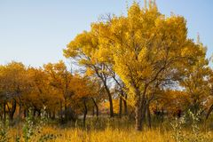 Golden trees in autumn. In Autumn is the golden season of Populus diversifolia eyeful looked full of pictures depicting golden.The trees of populus Pinyin:Hu royalty free stock image