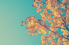 Autumn Golden Tree Leaves Royalty Free Stock Photography
