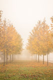 Autumn golden trees in fog. Autumn empty promenade with golden trees in a foggy morning during fall season Royalty Free Stock Photography