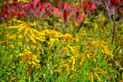 Autumn goldenrod. In a meadow Royalty Free Stock Images