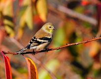 Autumn and Goldfinch  Royalty Free Stock Image