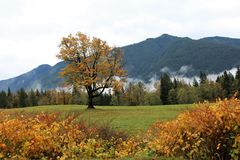 Autumn Golds Light up Landscape. Beautiful autumn landscape in the Fraser Valley features forested mountains, mist, woodland, pasture with a large tree with Stock Photos