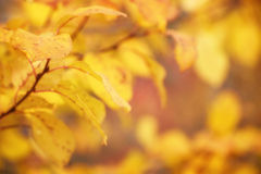 Autumn Golf Leaves with Nature Background Stock Photography