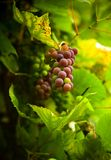 Autumn grape Royalty Free Stock Image