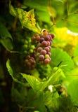 Autumn grape Royalty Free Stock Image