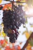 Autumn grape Stock Photos