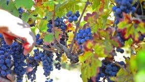 Autumn grape harvest stock footage