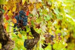 Autumn Grape Harvest Season Stock Foto's