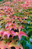 Autumn grape ivy plant Stock Images