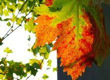 Autumn grape leaf Stock Photo