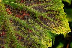Autumn grape leaf Royalty Free Stock Photography