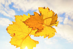 Autumn grape leaf on the background of cloudy sky, backlit Royalty Free Stock Image