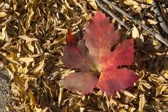 Autumn grape leaf. Royalty Free Stock Image