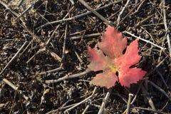 Autumn grape leaf. Stock Photo