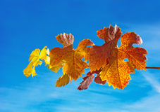 Autumn grape leaves Royalty Free Stock Photo