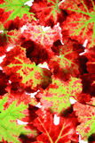 Autumn grape leaves Royalty Free Stock Photography
