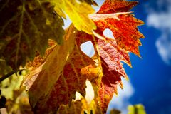 Autumn Grape Leaves colorido Foto de Stock Royalty Free