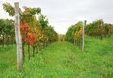 Autumn Grape Vines Near Abbazia Rosazzo. A vineyard starting to turn to autumn colours in north east Italy, near the Abbey of Rosazzo, Manzano, Friuli Stock Photos
