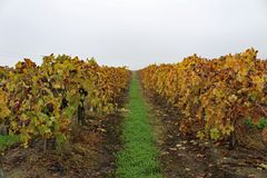Autumn Grape Vineyard arkivfoto