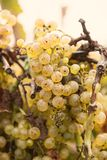 Autumn Grapes Lizenzfreies Stockfoto