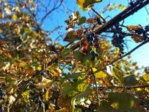 Autumn Grapes photo libre de droits