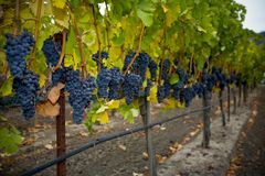 Free Autumn Grapes Stock Photography - 1374132