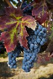 Autumn Grapes. Grapes and Autumn leaves in the Napa Valley of California Royalty Free Stock Image