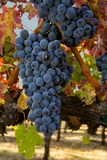 Autumn Grapes. Grapes and Autumn leaves in the Napa Valley of California Stock Image