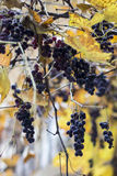 Autumn Grapes images stock