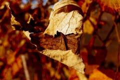 Autumn grapes. Grapes on a autumn background Stock Photos