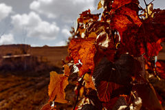 Autumn grapes. Grapes on a autumn background Royalty Free Stock Images