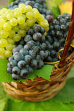 Autumn grapes harvest Stock Photo
