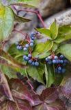 Autumn Grapes inmaduro en otoño Imagen de archivo