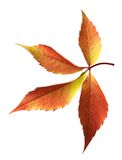 Autumn grapes leaf Stock Image
