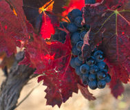 Autumn grapes Stock Photography