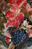 Autumn grapes Stock Photos