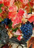 Autumn grapes Royalty Free Stock Photo