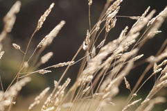 Autumn Grass. Dying grass in autumn breeze Royalty Free Stock Photo