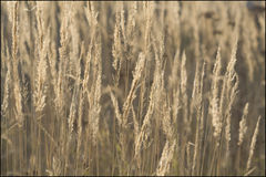 Autumn grass Royalty Free Stock Photography
