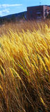 Autumn grass on city suburb. Royalty Free Stock Photo