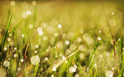 Autumn grass with dew Royalty Free Stock Photo