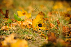 The autumn grass and dry leaves Royalty Free Stock Photo