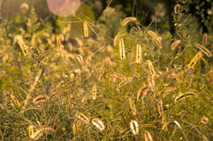 Autumn Grass Field. Sunset at the Field of grass Stock Photography
