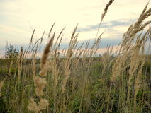 Autumn grass in the meadow. Swaying in the wind Royalty Free Stock Images