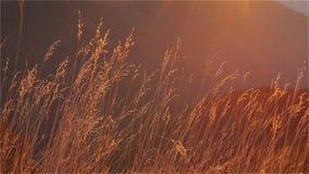 Autumn Grass pendant l'après-midi Sun banque de vidéos
