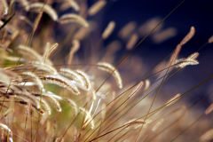 Autumn Grass at Sunset. Close-up of the mature heads of autumn grass in sunset light stock photos