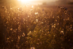 Autumn grass on sunset Royalty Free Stock Photography