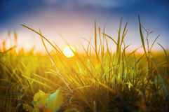 Autumn grass on sunshine of Sunset stock photos